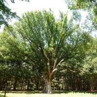 Le gros chêne de Salm © OTVB